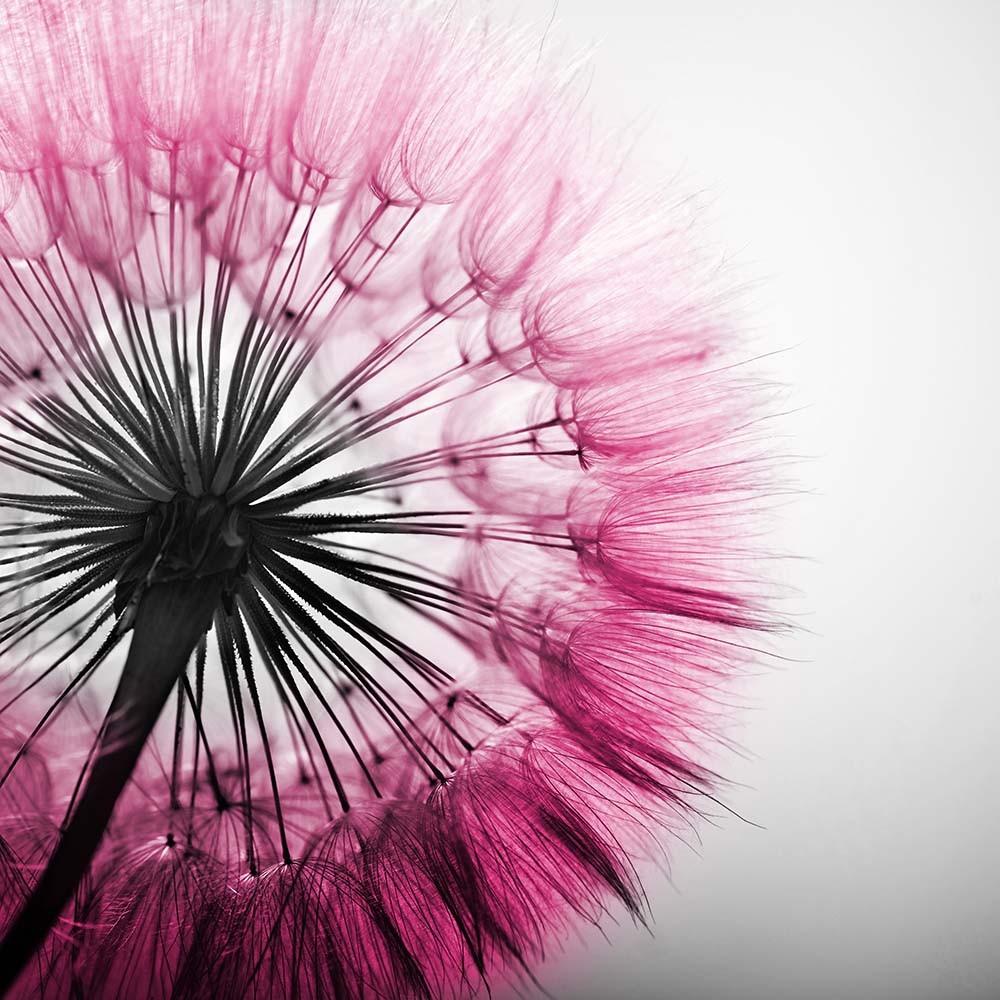 FototapetaFotografia czarno-biała z kolorem różowym - dmuchawiec