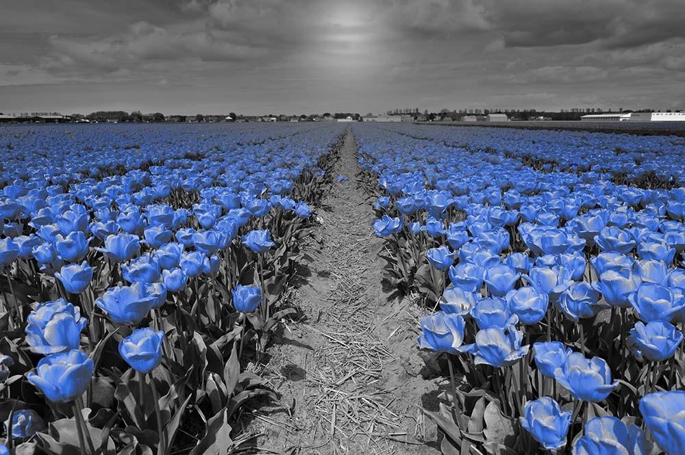Fototapeta Fotografia czarno-biała z niebieskim akcentem - Tulipany