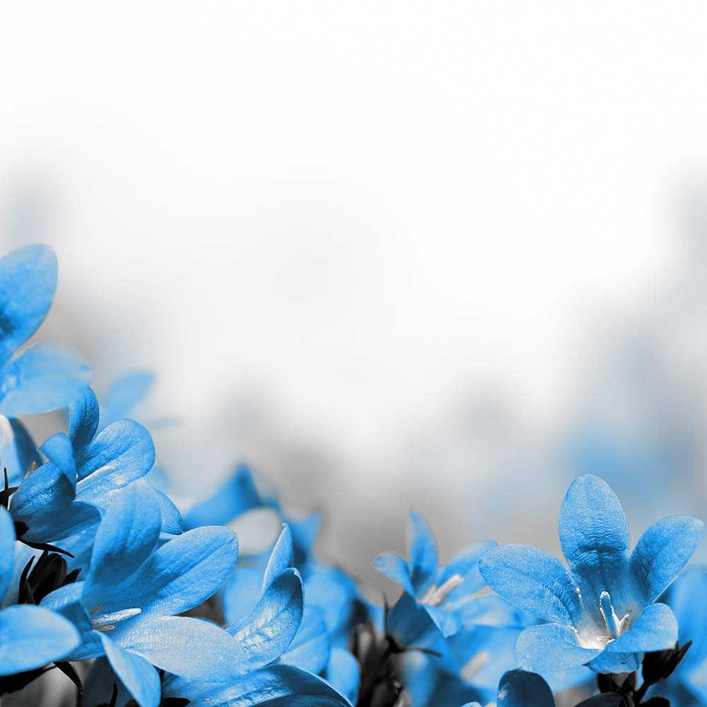 Fototapeta Fotografia czarno-biała z niebieskimi kwiatami