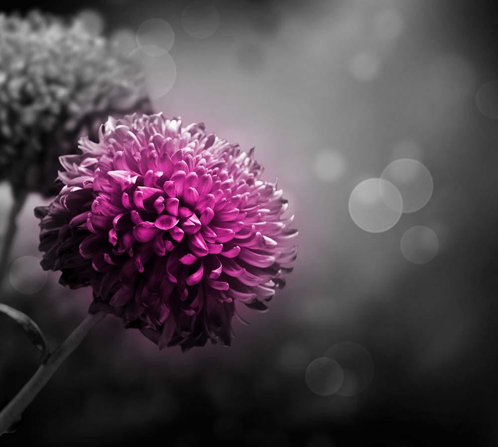 Fototapeta Fotografia czarno-biała z kolorem różowym - dalia