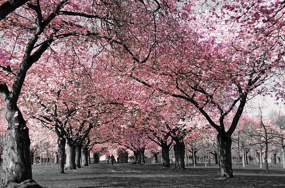 FototapetaFotografia czarno-biała z różowym sadem