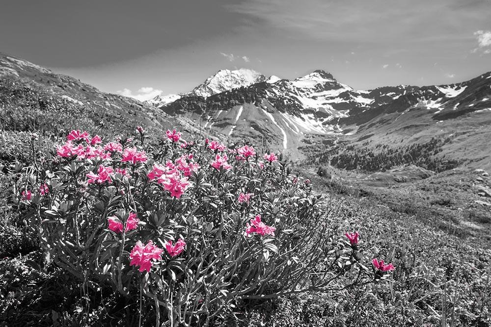 FototapetaFotografia czarno-biała z różowymi kwiatami na tle gór