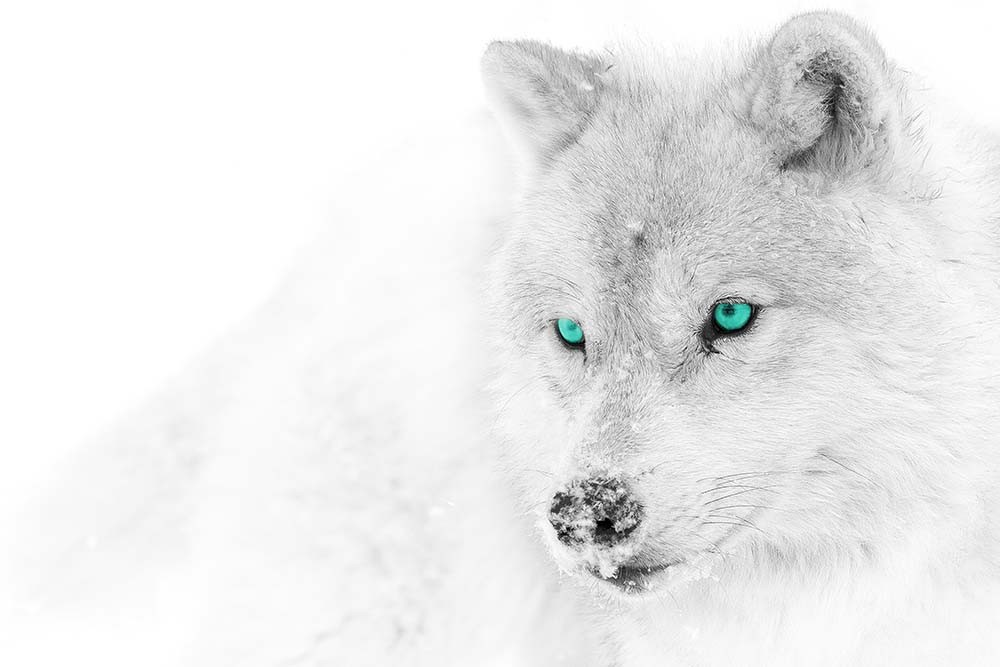 Fototapeta Fotografia czarno-biała z turkusowym akcentem - Wilk