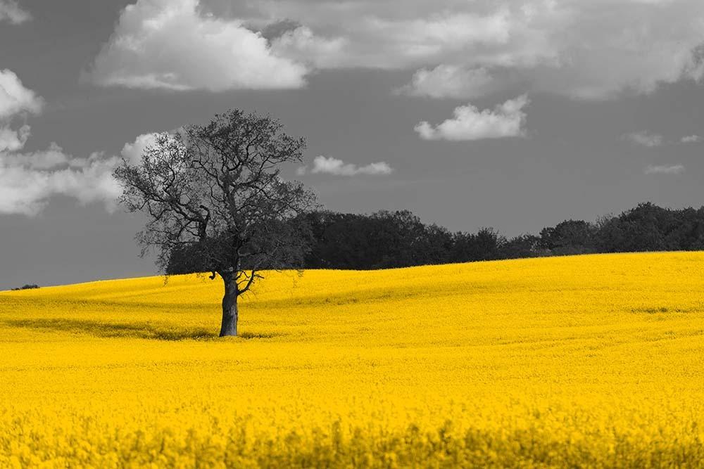 Fototapeta Fotografia czarno-biała z żółtym akcentem - Krajobraz z rzepakiem