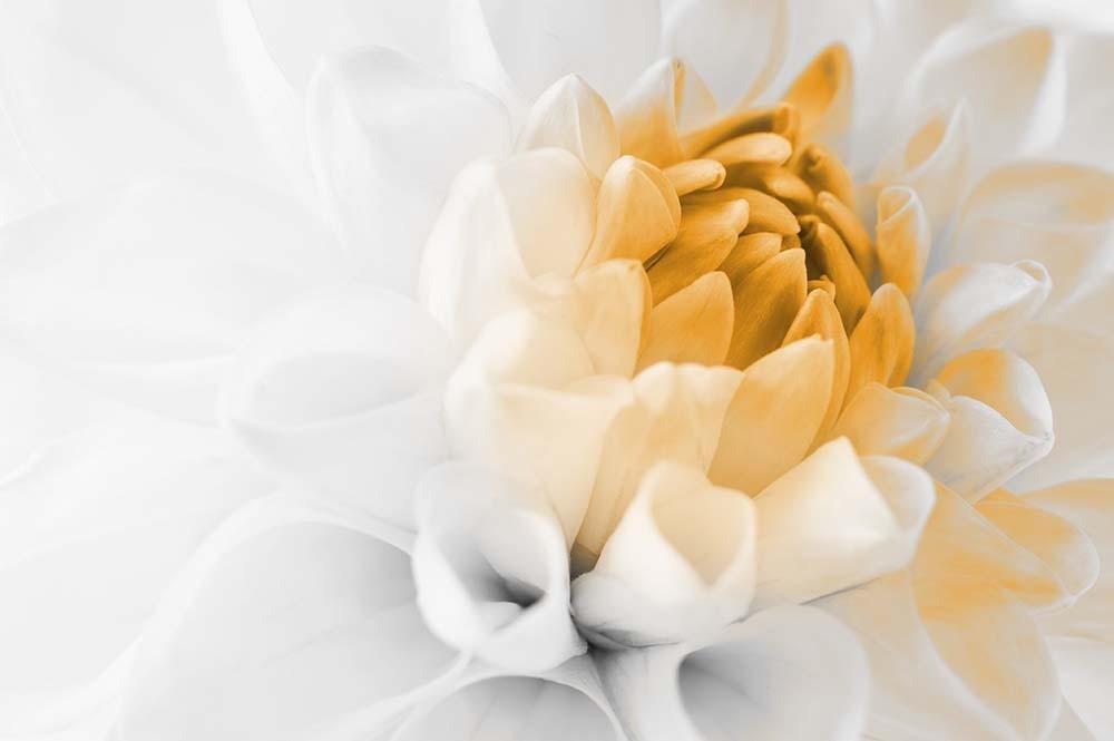 Fototapeta Czarno białe z kolorem Fotografia czarno-biała z żółtym akcentem - Kwiat Dalii