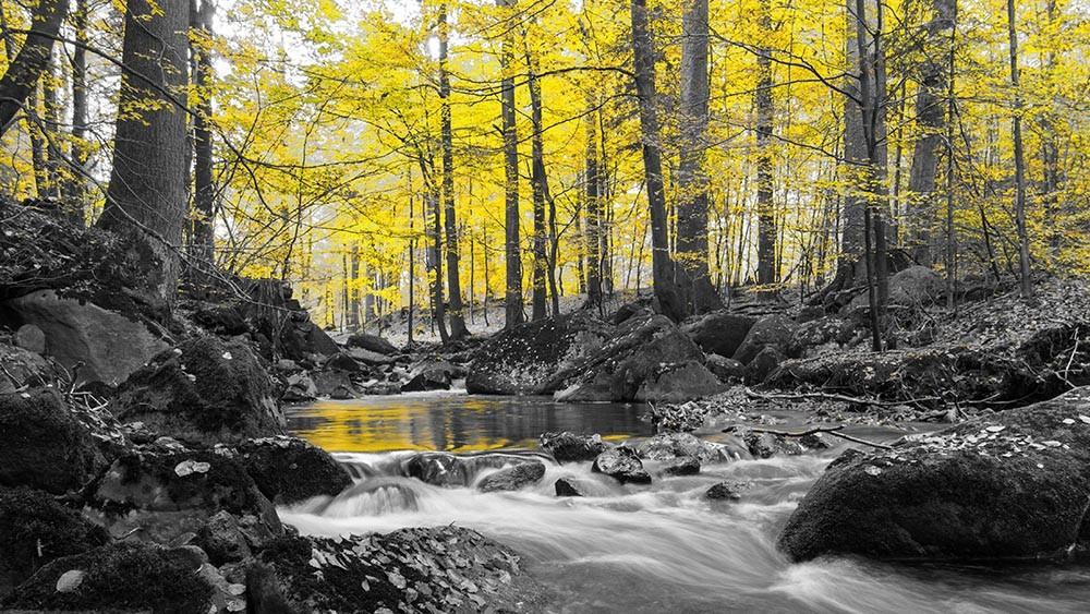 FototapetaFotografia czarno-biała z żółtym lasem