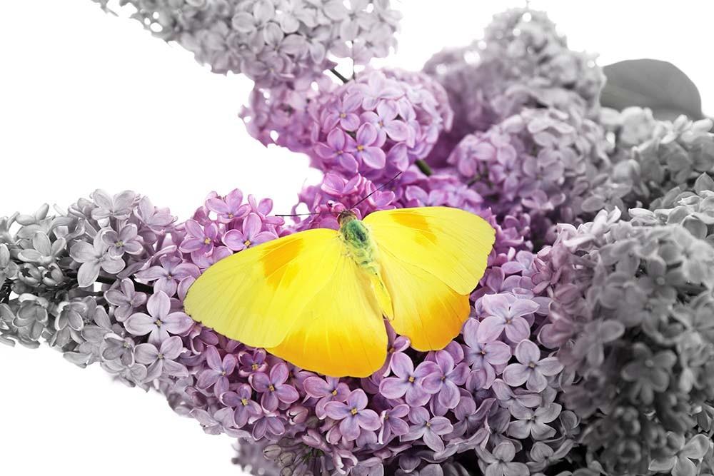 Fototapeta Fotografia czarno-biała z kolorowym akcentem - Motyl na kwiecie bzu