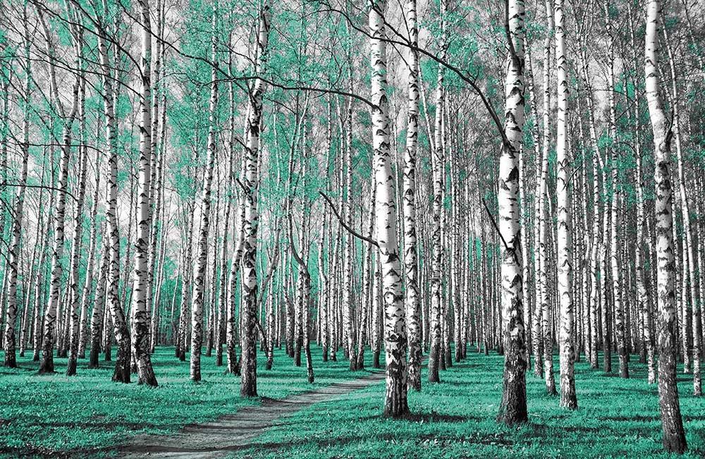 Fototapeta Fotografia czarno-biała z turkusowym akcentem - Las brzozowy