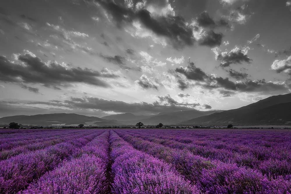 Fototapeta Fototapeta czarno-biała z fioletowym akcentem - Pole lawendy