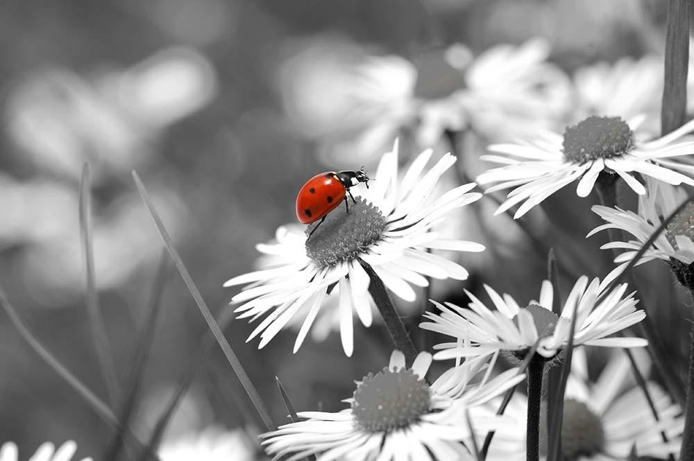 Fototapeta Fotografia czarno-biała z czerwonym akcentem - Biedronka
