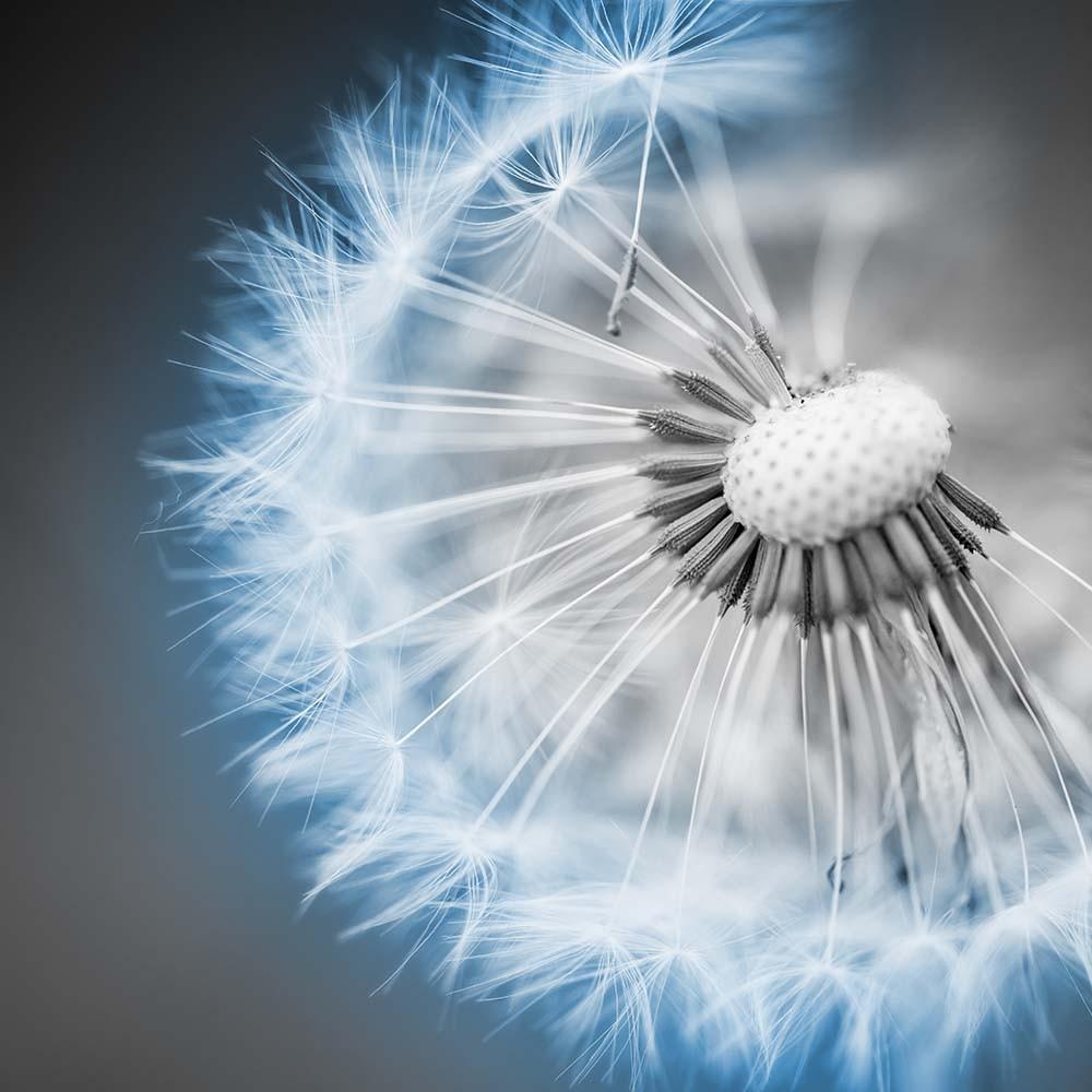 Fototapeta Fotografia czarno-biala z niebieskim akcentem - Dmuchawiec