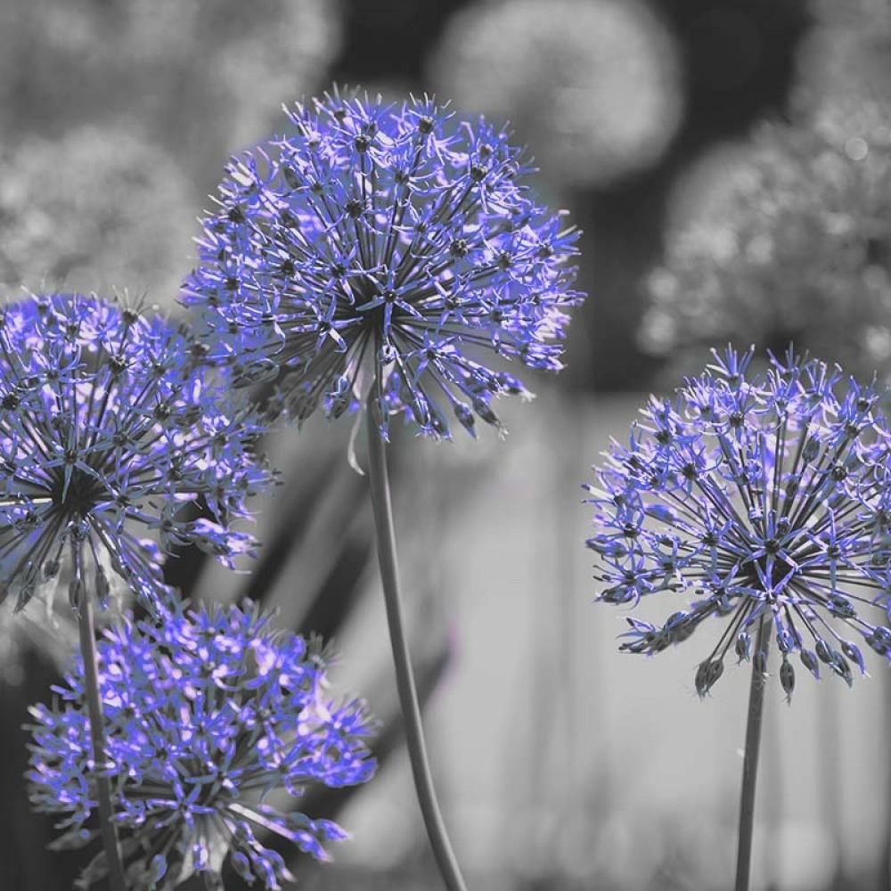 Fototapeta Czarno białe z kolorem Fotografia czarno-biała z niebieskim akcentem - Kwiaty