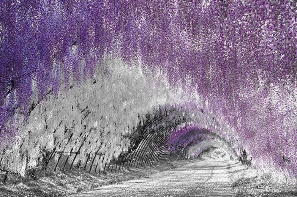 FototapetaFotografia czarno-biala z fioletowym akcentem - Kwiecisty tunel