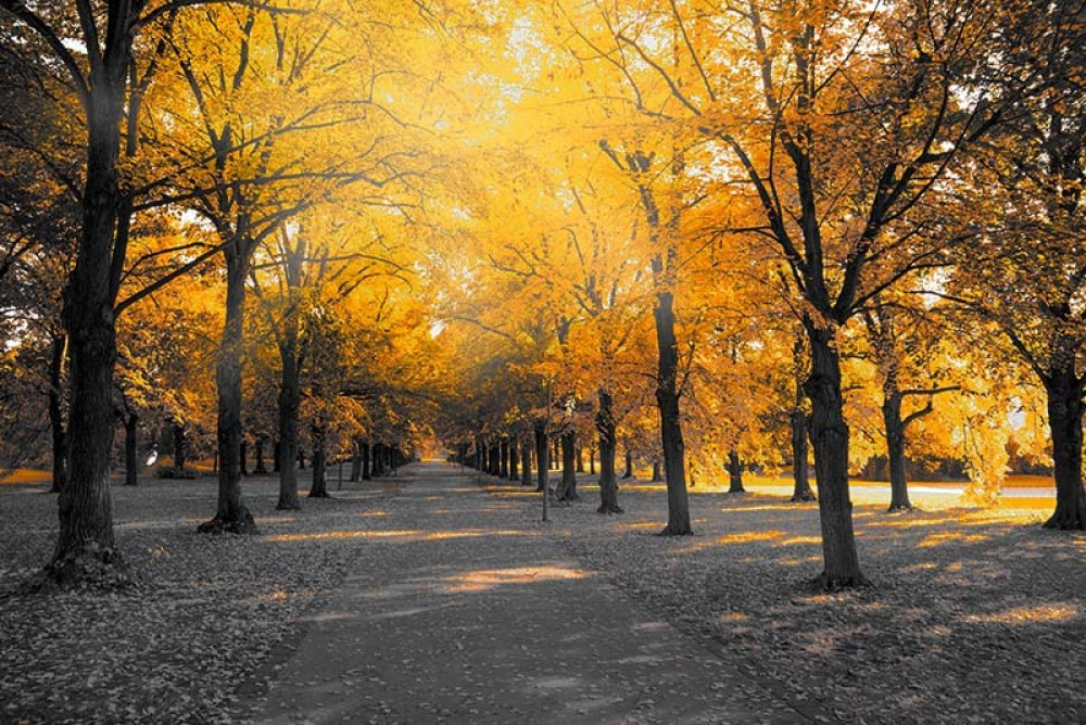 FototapetaFotografia czarno-biała z żółtym akcentem -Aleja drzew
