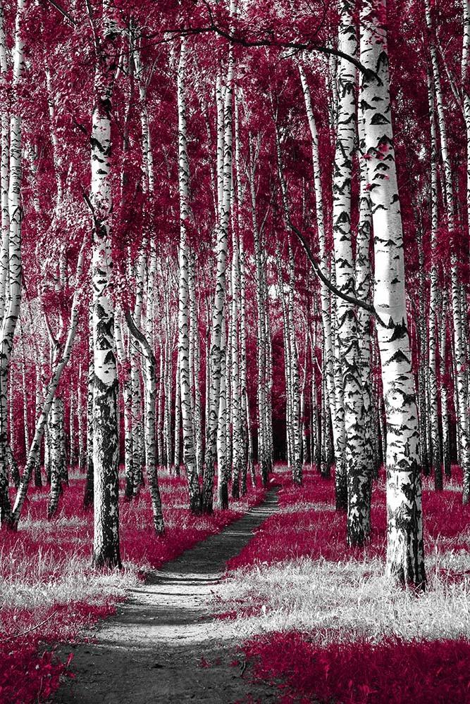Fototapeta Fotografia czarno-biała z różowymi akcentami - Aleja brzozowa