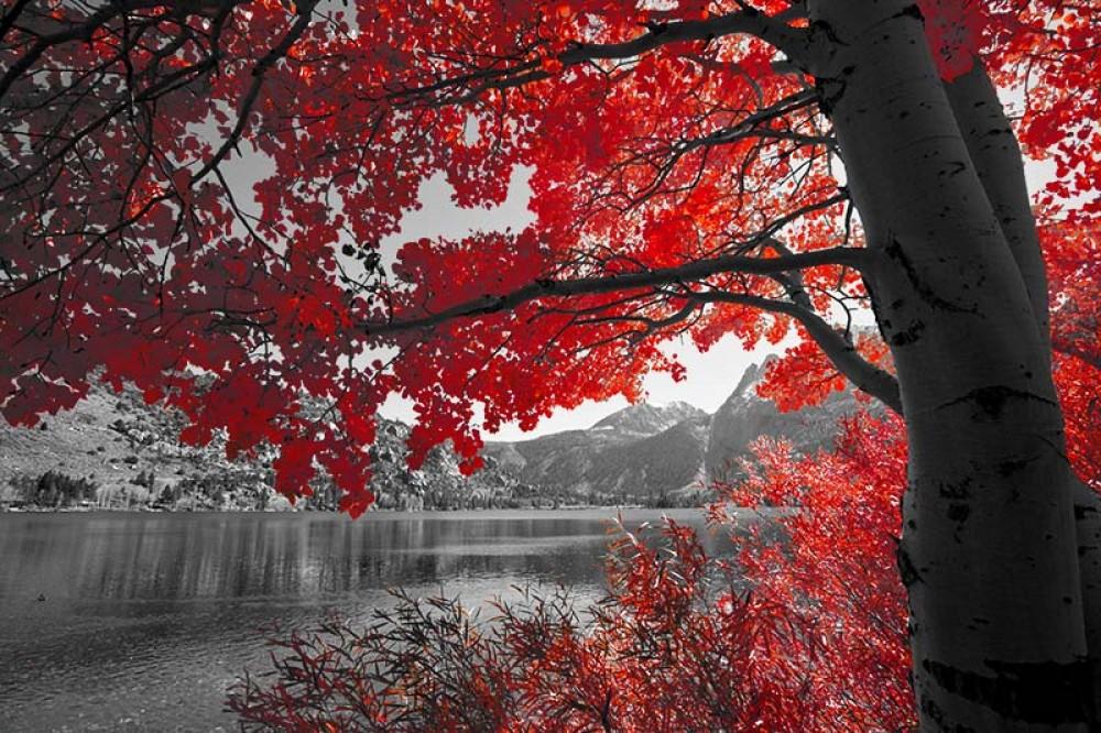 Fototapeta Czarno białe z kolorem Fotografia czarno-biała z czerwonym drzewem