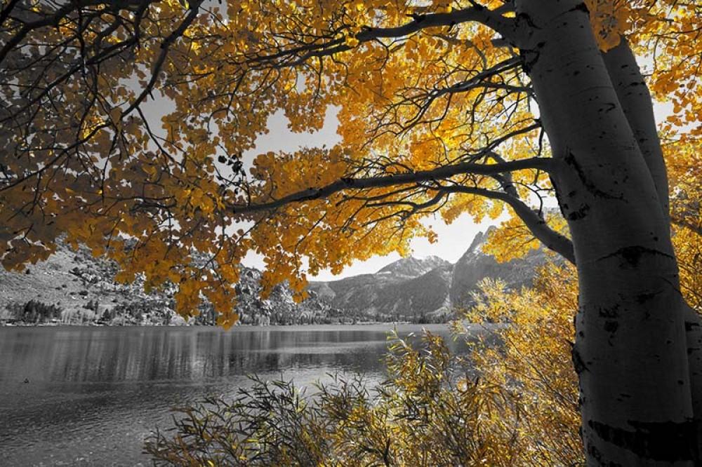 FototapetaFotografia czarno-biała z żółtym drzewem