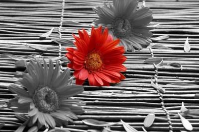 FototapetaFotografia czarno-biała z czerwonym kwiatem