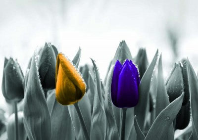 FototapetaFotografia czarno-biała z żółtym i fioletowym tulipanem
