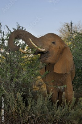 Fototapeta The African Bush Elephant (Loxodonta africana) at Samburu Park