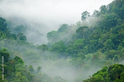 Obraz rainforest morning fog