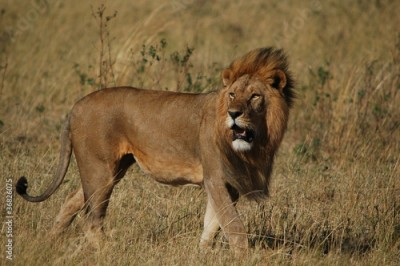 Fototapeta Lion (Panthera leo) in Masai Mara National Reserve (Kenya)