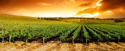 Obraz Sunset Vineyard Panorama