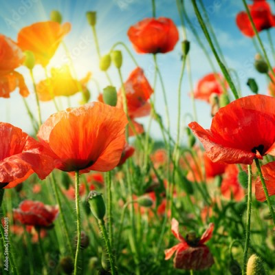 Fototapeta poppies field in rays sun