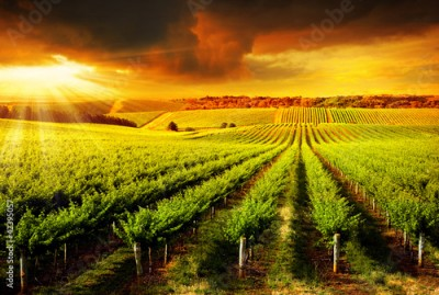 Obraz Stunning Vineyard Sunset