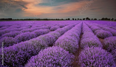 Obraz na Plexi Fields of Lavender at sunset