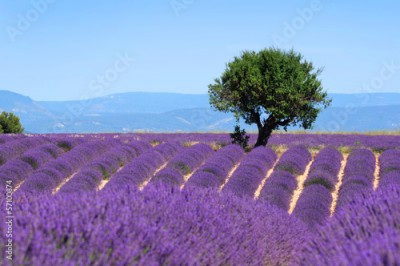 Obraz na Plexi Lavender field. The plateau of Valensole in Provence