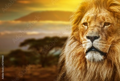 Fototapeta Lion portrait on savanna background and Mount Kilimanjaro