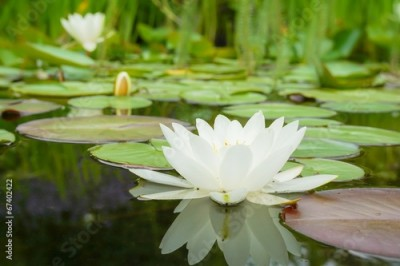 Obraz White water lily flower and leaves