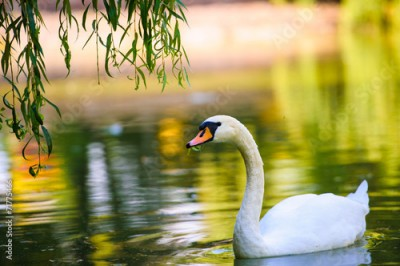 Plakat Beautiful young swans in lake