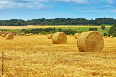 Fototapeta Golden hay bales in countryside
