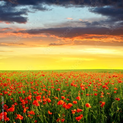 Obraz Spring landscape with red poppy field in the sunset