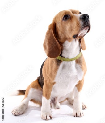 Obraz Beagle dog isolated on white