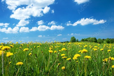 Obraz na Szkle Field with dandelions and blue sky