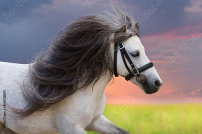 Plakat Grey pony with long mane portrait against sunset sky