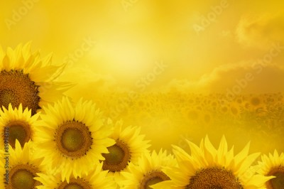 Obraz na Szkle Sunflowers Background