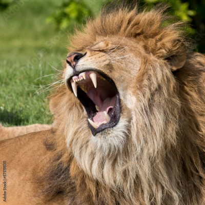 Fototapeta Male lion having a yawn
