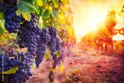 Obraz vineyard with ripe grapes in countryside at sunset