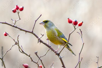 Panel Szklany European greenfinch with red rose hips.