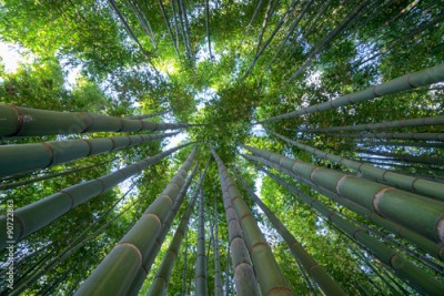 Fototapeta Bamboo forest, a look to the sky