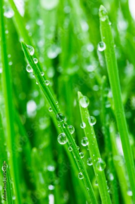 Obraz na płótnie green shoots of spring grass in water drops macro lens shot