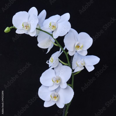 Fototapeta white orchid flowers closeup on black background