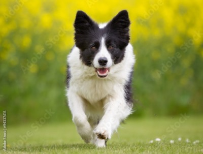 Obraz Happy and smiling Border Collie dog running