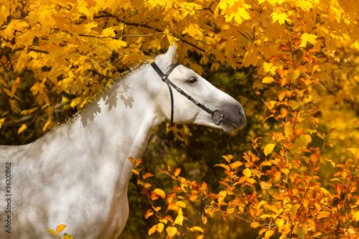 Obraz Portrait of beautiful white horse in orange leaves in fall