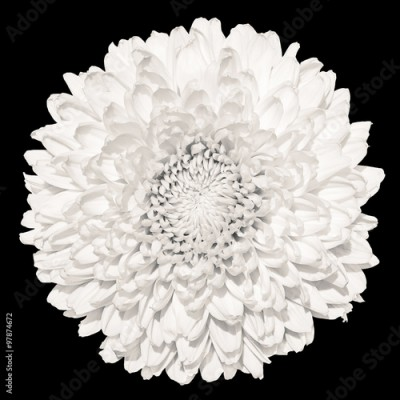Plakat Tender white chrysanthemum (golden-daisy) flower macro isolated on black