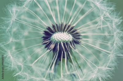 Fototapeta close up of Dandelion with abstract color